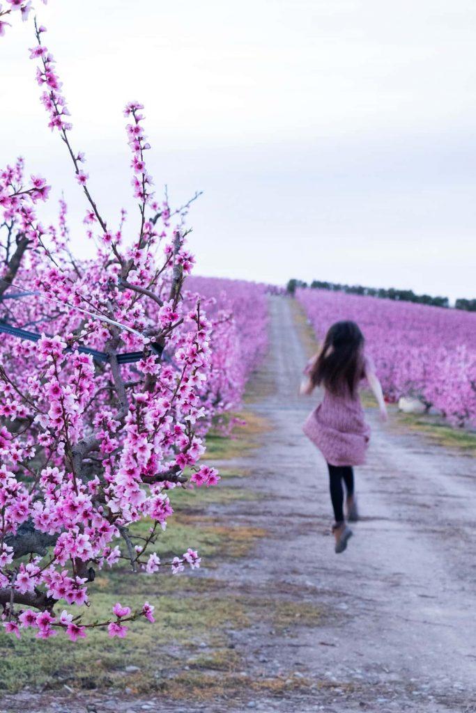 campos de melocotoneros flores rosas
