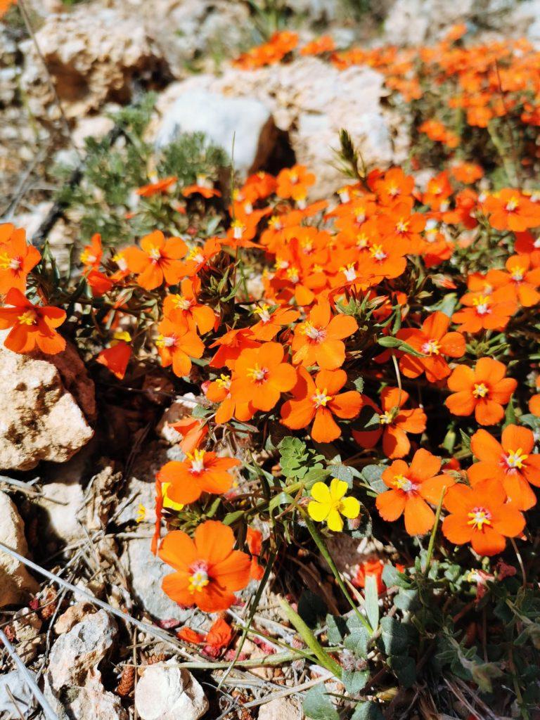 flors taronges