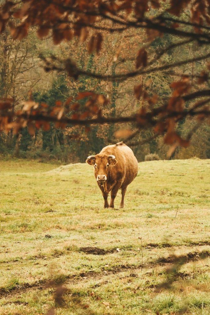 vacas excursio bufadors de bevi