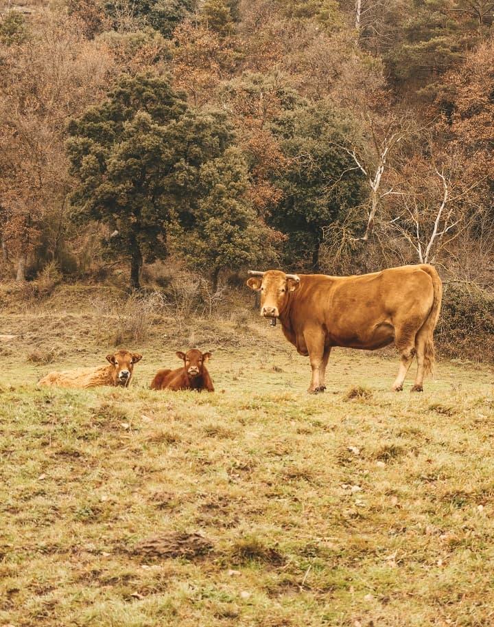 vaques i vedells catalunya